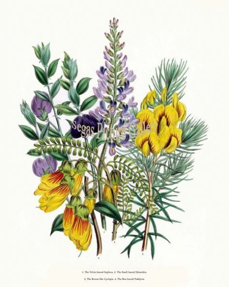Fine art print of the Velvet-leaved Sophora, Small-leaved Edwardsia, Broom-like Cyclopia, Box-leaved Podalyria by Mrs Webb Loudon